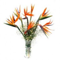 Exquisite birds of paradise in a glass vase.