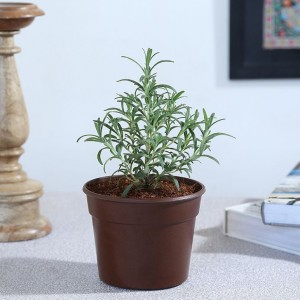 Exotic Green Herb-Rosemary